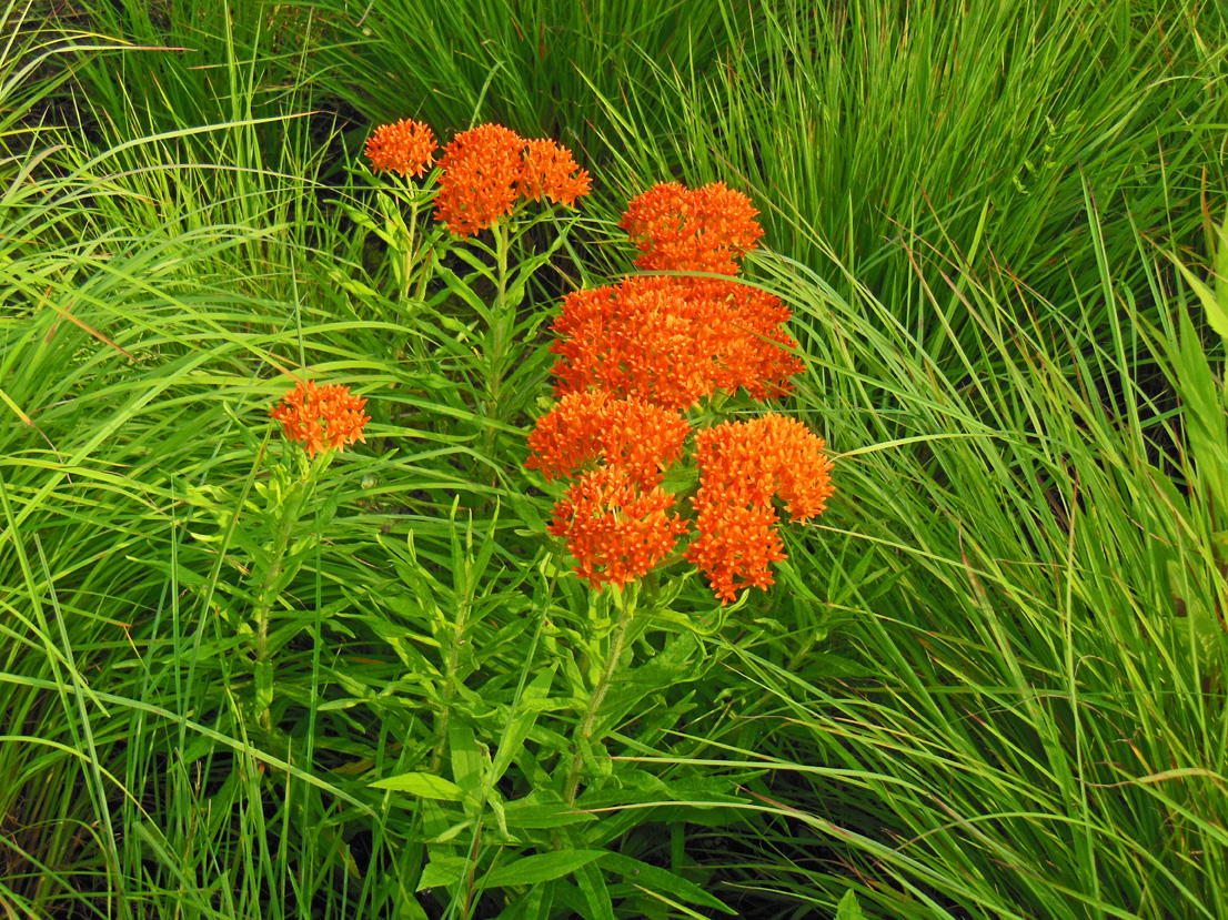 Native - Butterfly Weed 2