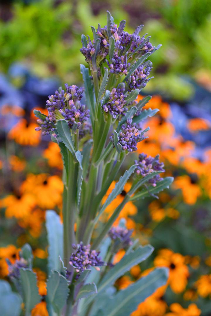 Purple Broccoli Photo 1a