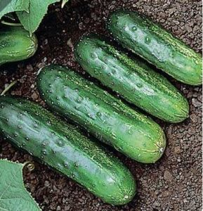 H-19 Little Leaf Cucumber