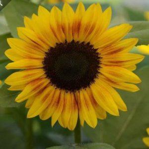 Jua Inca Sunflower