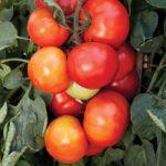 tomato-bigleaguehybrid