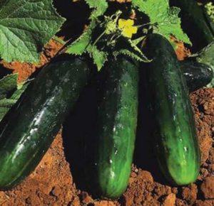 Cucumber Spacemaster 80