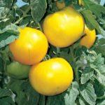 Tomato Hybrid Lemon Boy