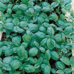Basil Italian Large Leaf