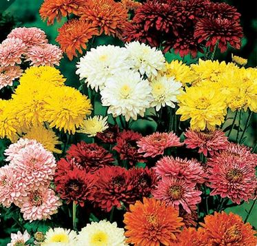 2 Steps to Overwinter Hardy Mums