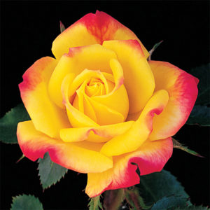 yellow rose with pink edges