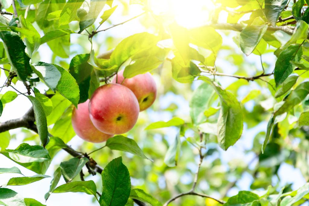 Branch of ripe apples in a garden.