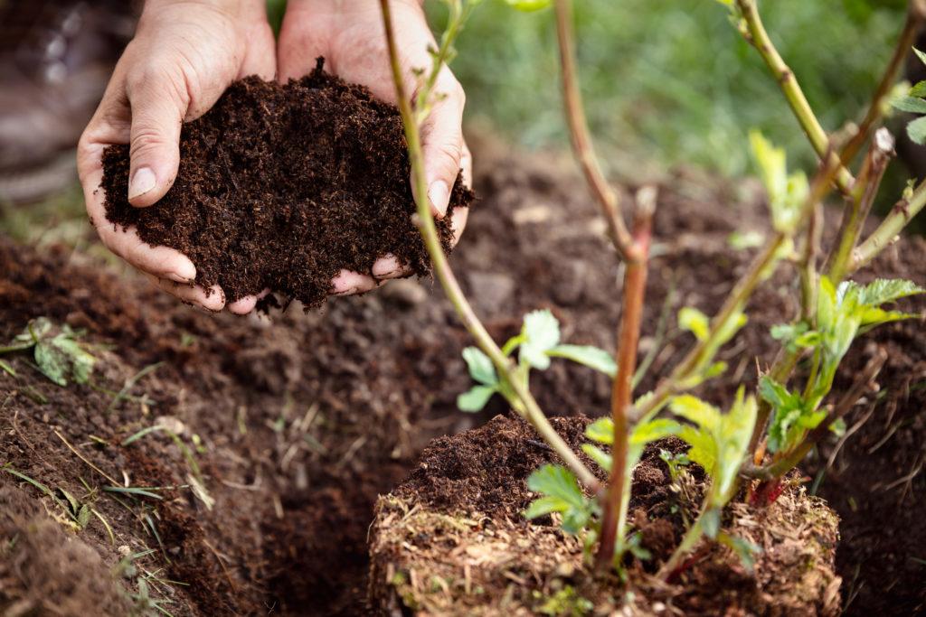 Primer plano, manos masculinas sosteniendo humus o mantillo, planta de mora al lado