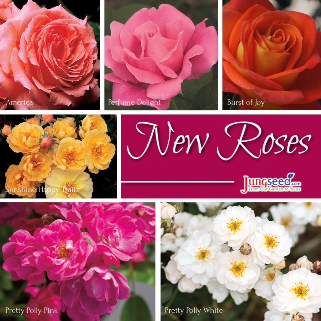 New Roses at Jung Seed
