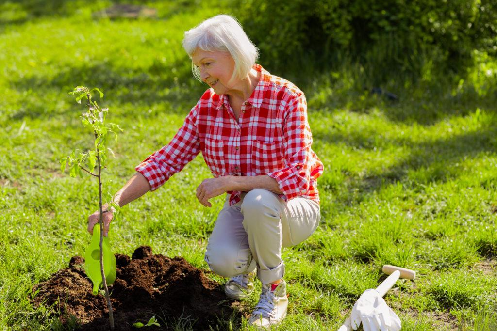 Grey-haired woman watering little tree in her garden