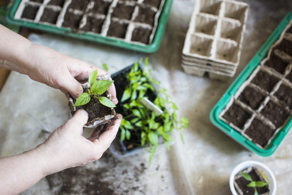 Repotting seedlings