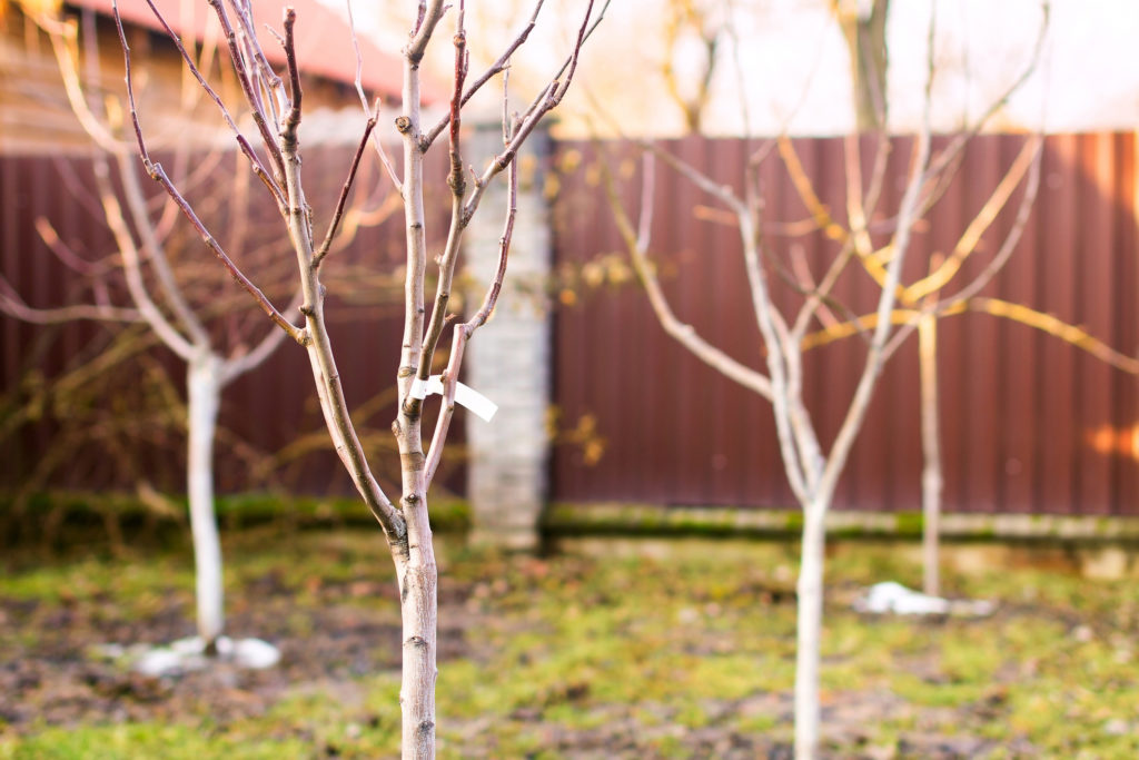 Freshly planted leafless young fruit trees in an early spring garden.