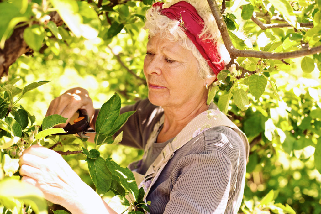 Old woman pruning tree in yard - Senior woman gardening in backyard