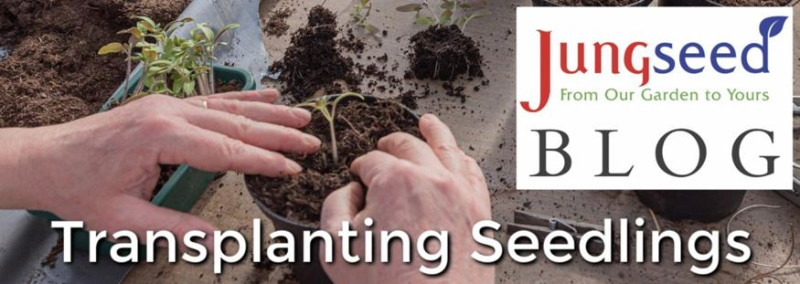 Transplanting Seedling Article Ad