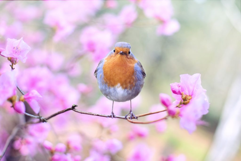 A blue and brown bird sitting on a pink blossom tree
