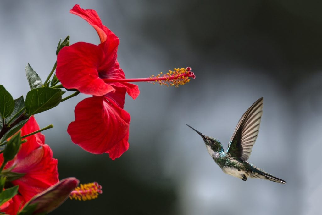 Hummingbird flying up to a red flower