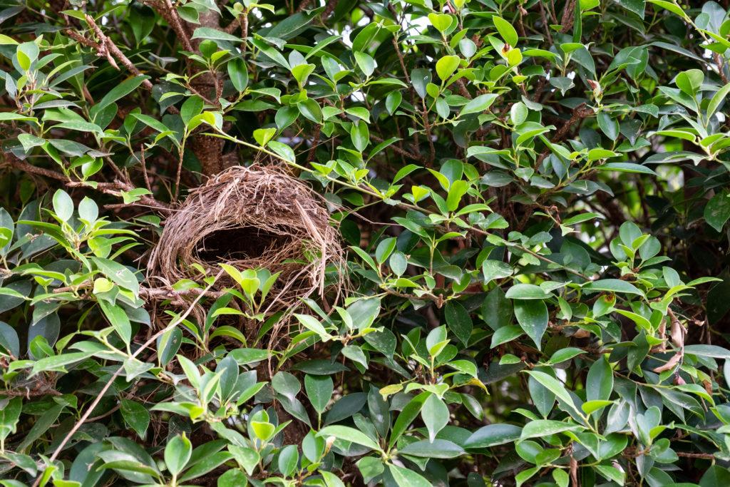 Empty bird's nest in a shrub