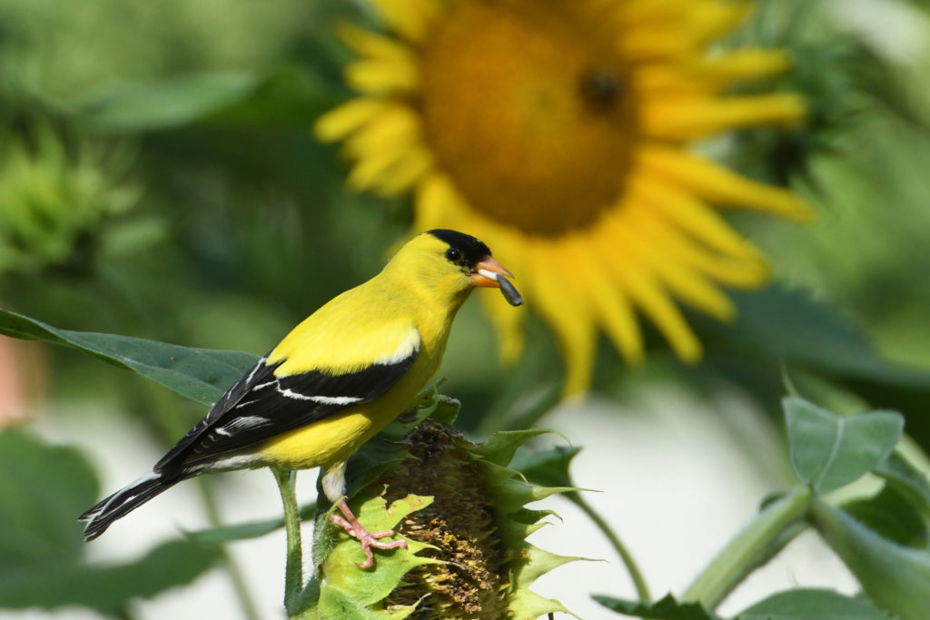 A goldfinch on a sunflower head