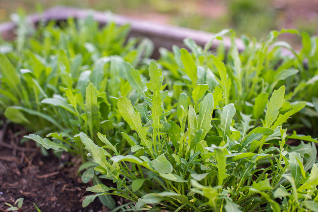 Green young organic arugula grows on a bed in the ground, organic home farming in raised beds