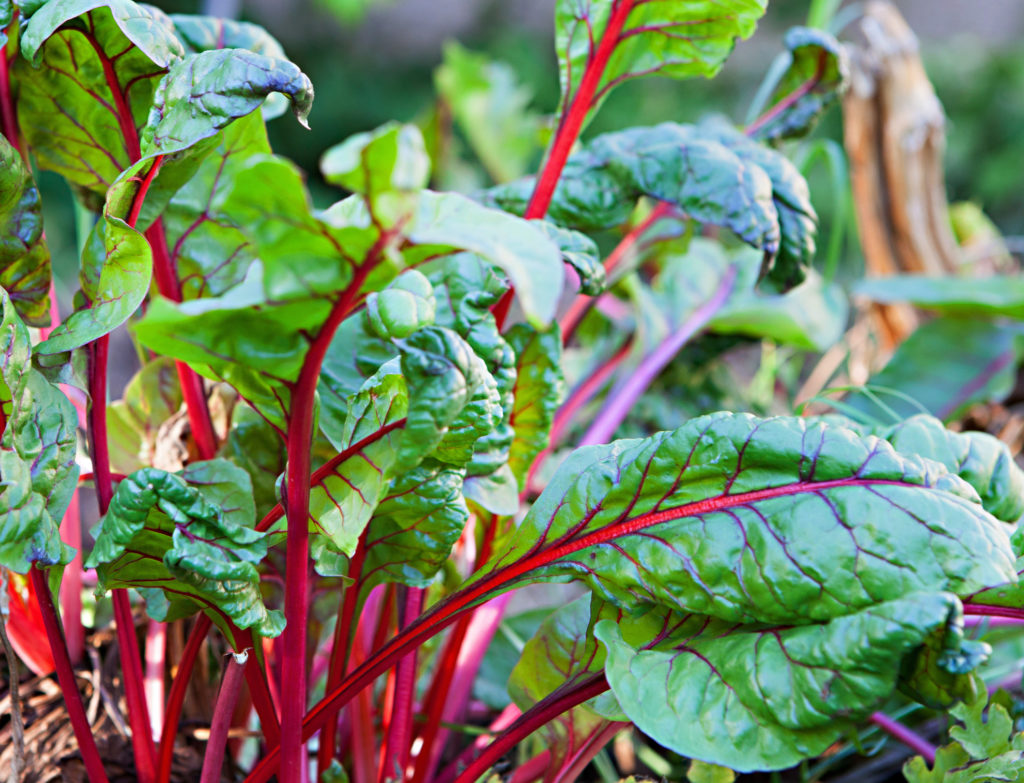Crop of organically raised Red Swiss Chard ready to harvest
