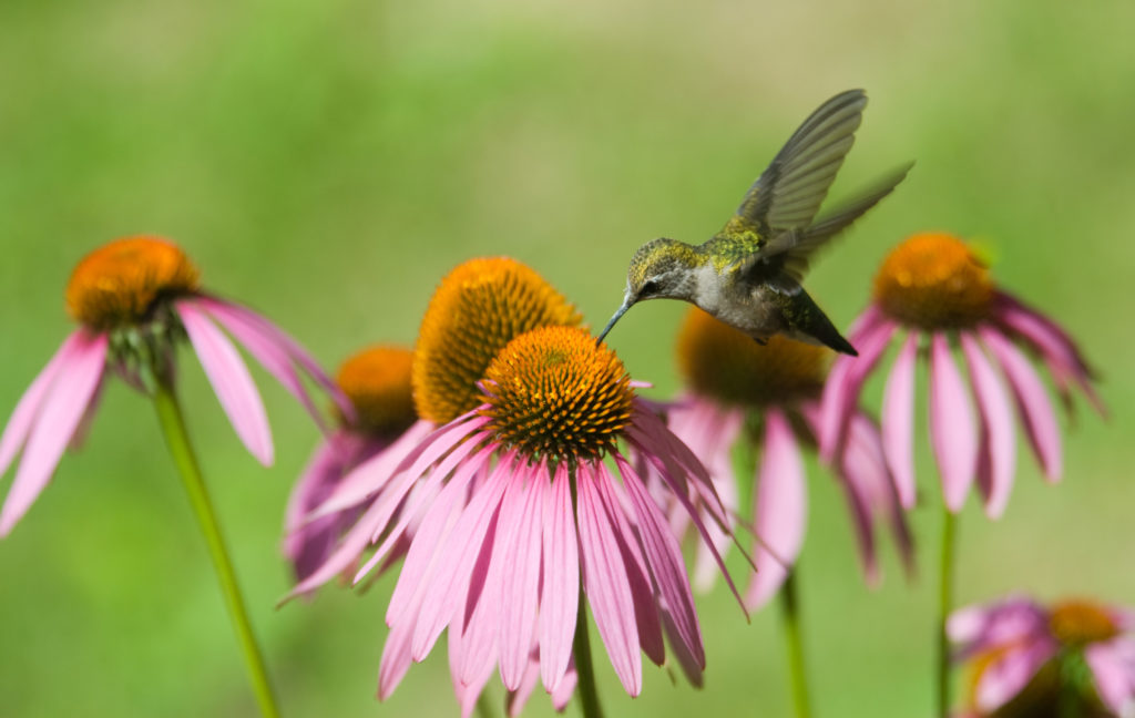 A humming bird in some pink coneflowers eating