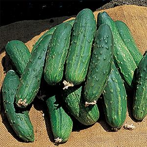 heirloom cucumber