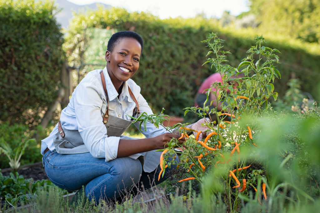 A woman picking peppers in the garden