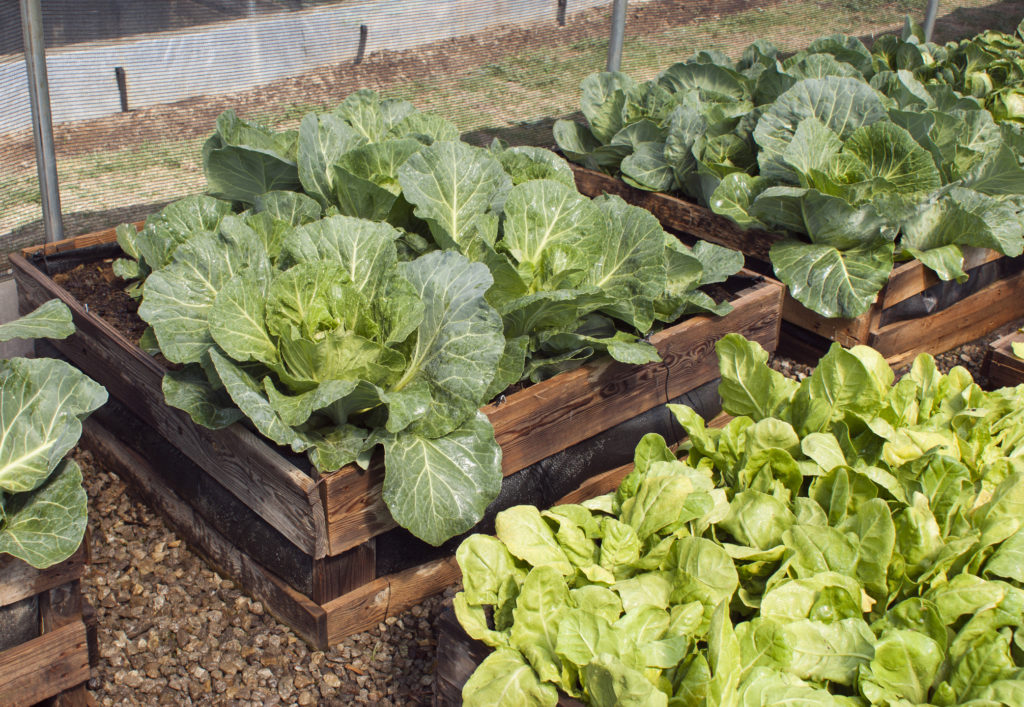 A pallet vegetable garden with cabbages and lettuce