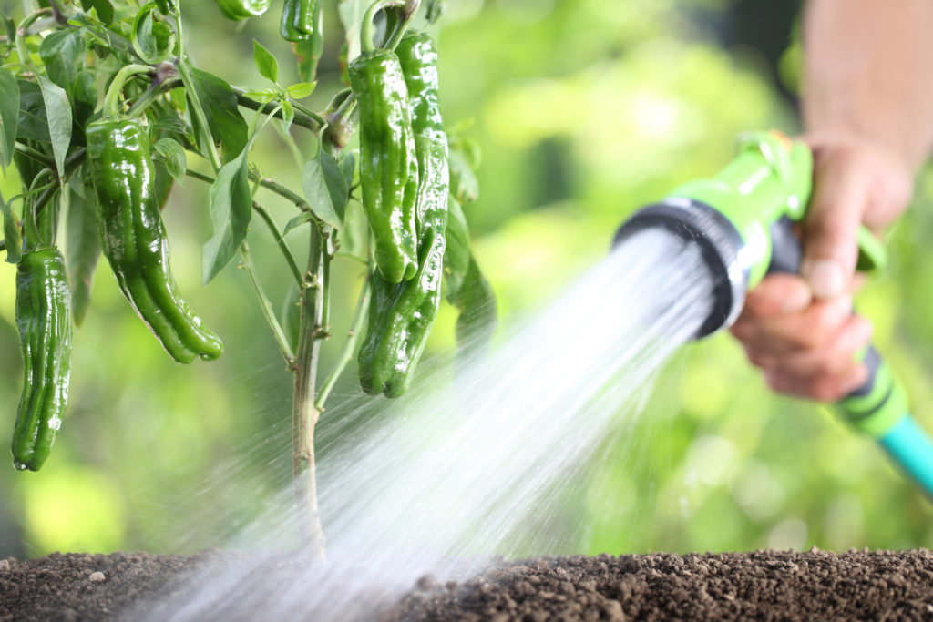 hand watering plants. green peppers in vegetable garden.