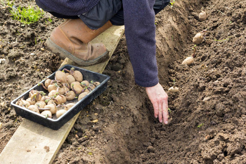 Gardener planting seed potatoes in a prepared trench