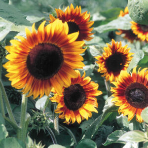Short variety of sunflower