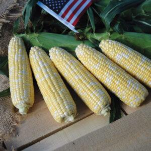 Augmented type sweet corn