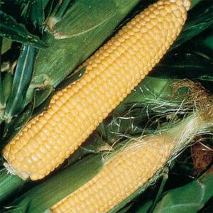 Su type sweet corn