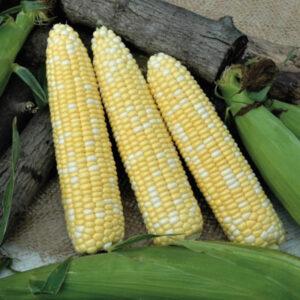 Sh2 type sweet corn