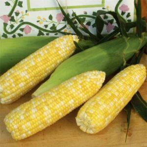 Synergistic type sweet corn