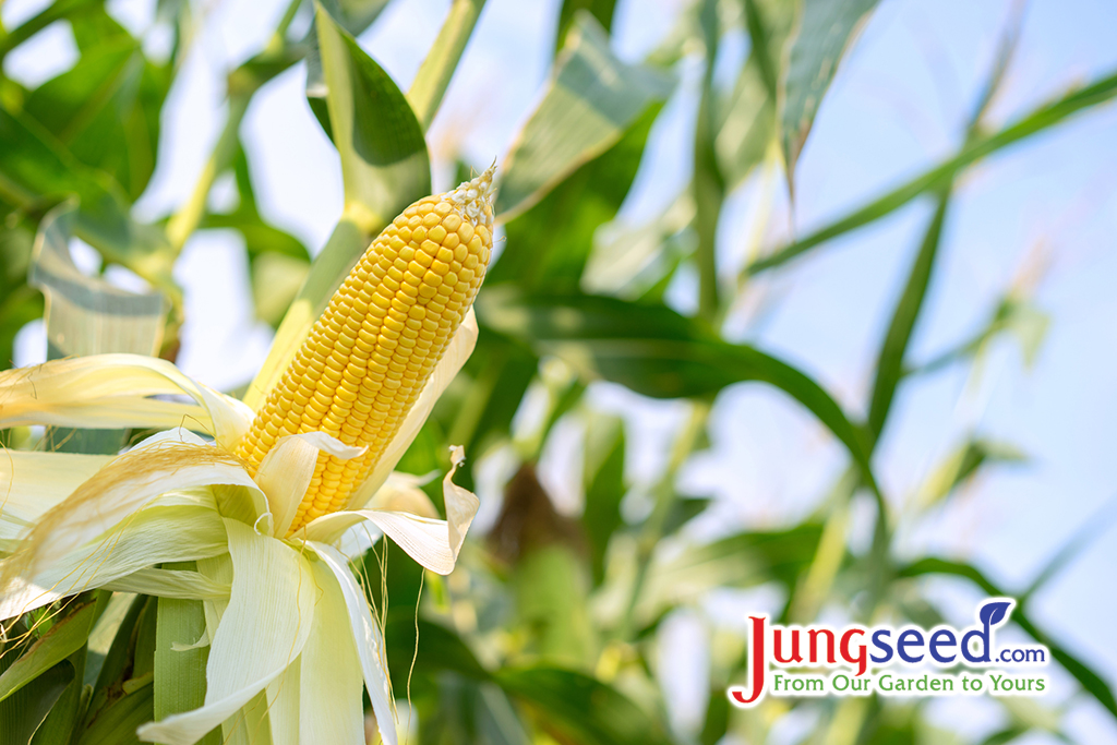 Growing Sweet Corn – Types and Isolation Guidelines