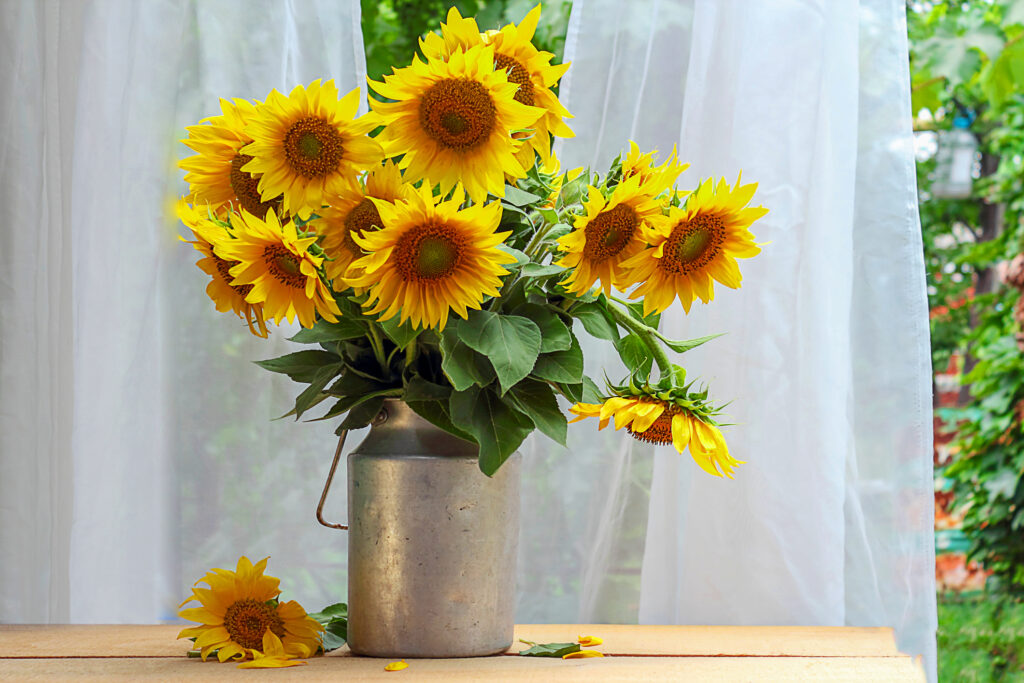 Bouquet of sunflowers in an aluminum can or retro vase, on a background of white curtains. On the table is a flower and fallen petals. View from the window. Rural or rustic background.