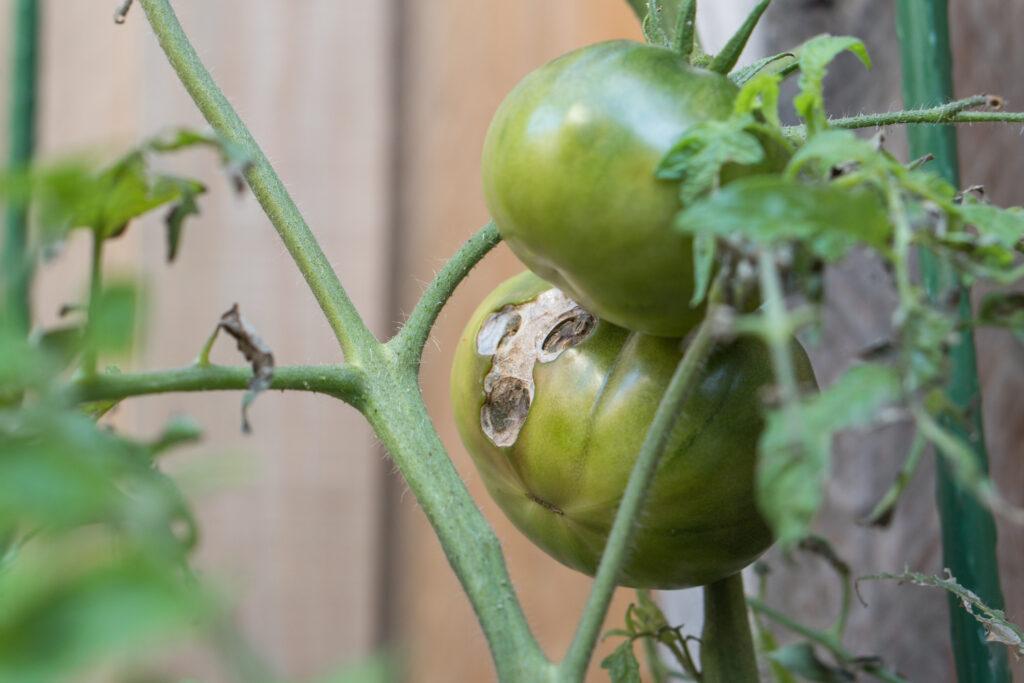 Tomato Disease