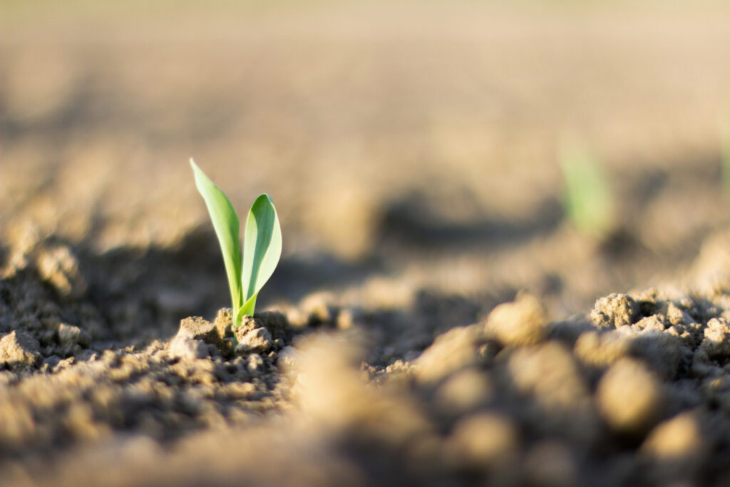 oung sweet corn plant sprout growing from the ground
