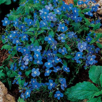 Blue Veronica