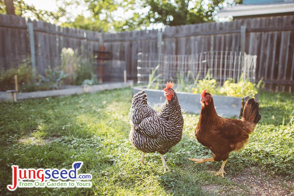 Gardening with Chickens – Why Chickens and Gardens Just Make Sense