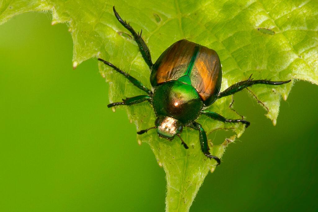 False Japanese Beetle on a green leaf