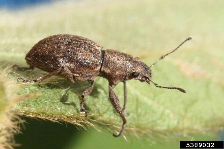 Fuller Rose Beetle