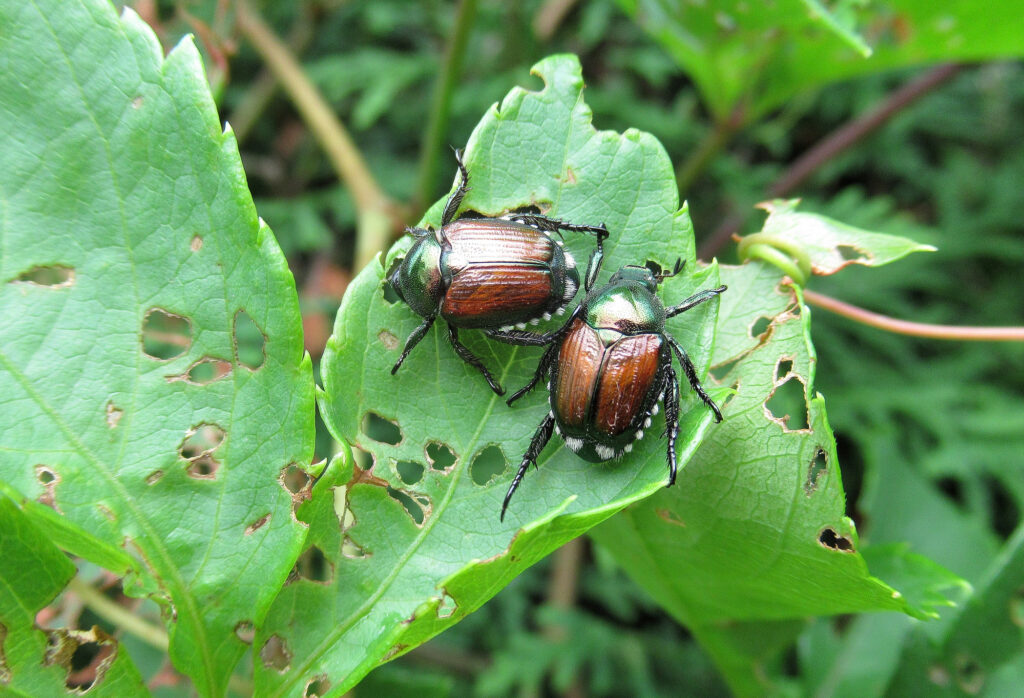 apanese Beetles are eating leaves in a backyard garden.