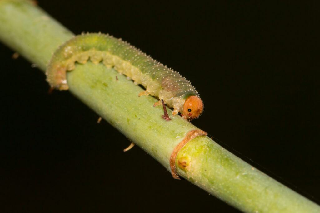 "Larva of a sawfly ""Allantus"" on a rose stem."