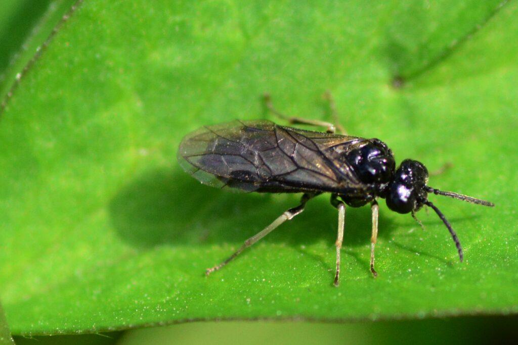 Sawfly on a green leaf