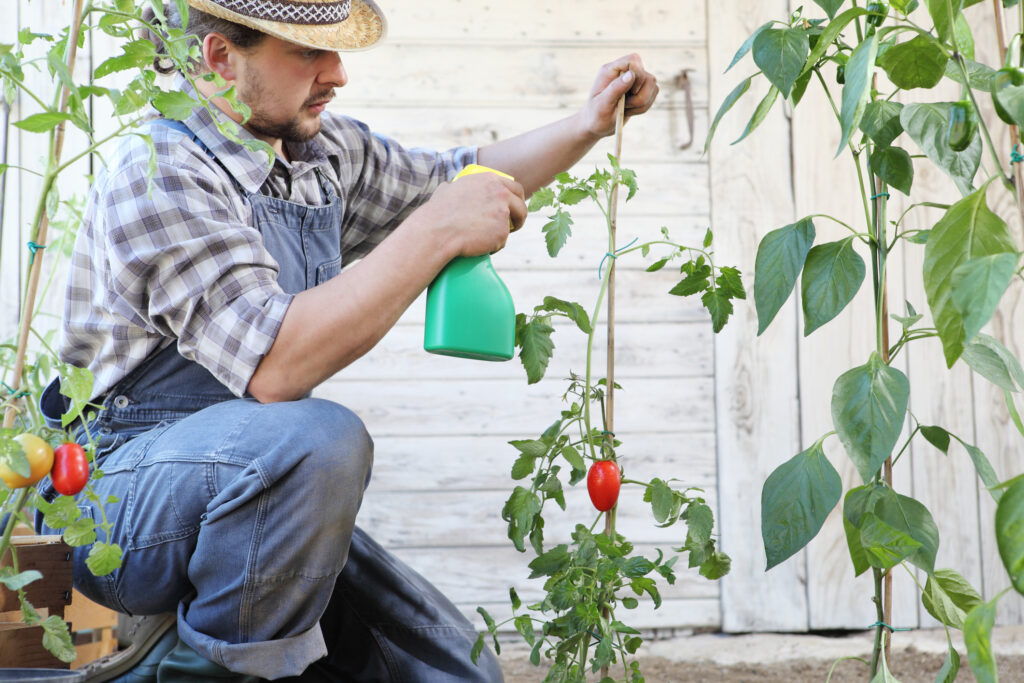 man in vegetable garden sprays pesticide on leaf of tomato plants, care of plants for growth concept