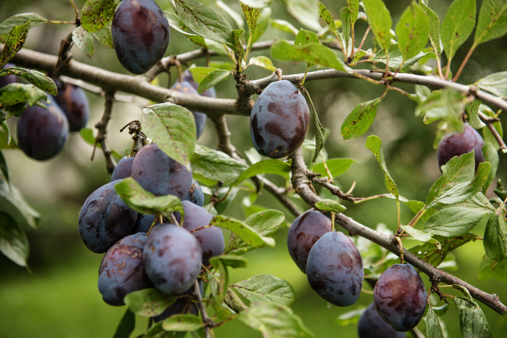 organic ripe purple plums on a tree