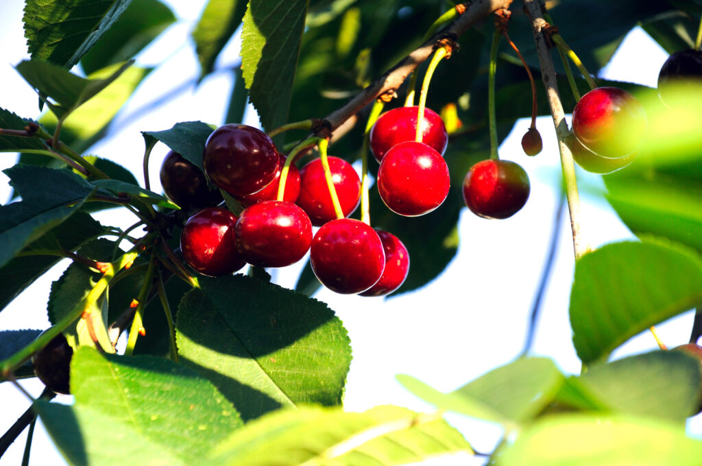 Ripe cherry on a branch of a cherry tree in the rays of the evening sun