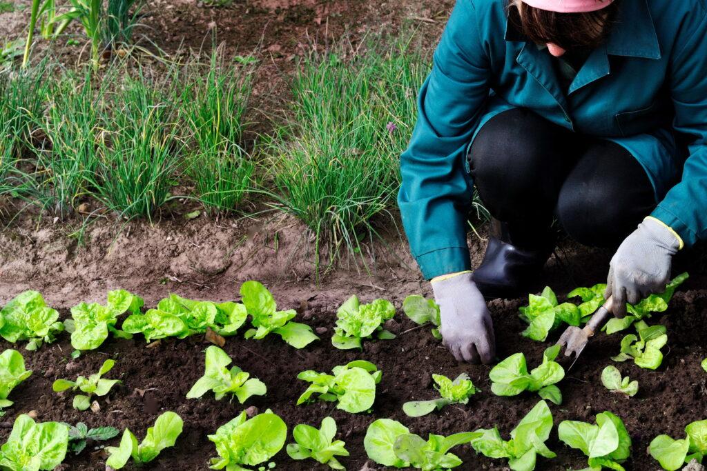 Mujer tirando de las malas hierbas de la lechuga en su jardín